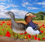 Mandarin ducks. Royalty Free Stock Image