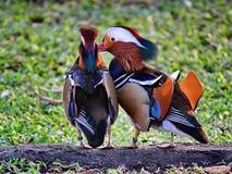 Mandarin Ducks Stock Photos