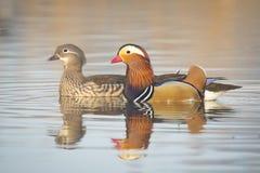 Mandarin ducks Stock Photography