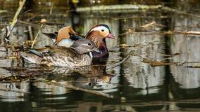Mandarin Ducks the couple Stock Image