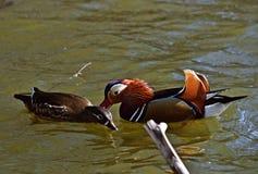 Mandarin ducks courtship display. Mandarin ducks Aix galericulata courtship display in Lainzer Tiergarten, Vienna royalty free stock image