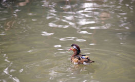 Mandarin ducks. Duck in people's minds is a symbol of eternal love, monogamy, love each other, grow old model, or even that duck once married spouses, they Royalty Free Stock Photography