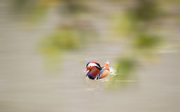 Mandarin ducks. Duck in people's minds is a symbol of eternal love, monogamy, love each other, grow old model, or even that duck once married spouses, they Royalty Free Stock Images