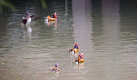 Mandarin ducks Stock Photo