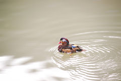 Mandarin ducks Royalty Free Stock Images