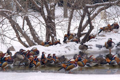 Mandarin ducks Stock Photos