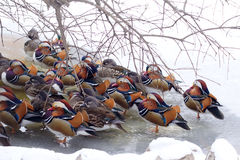 Mandarin ducks Royalty Free Stock Image