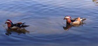 Mandarin ducks Stock Photo