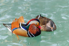 Mandarin ducks. A pair Mandarin ducks. The male is puffing his chest to impress the female Royalty Free Stock Images
