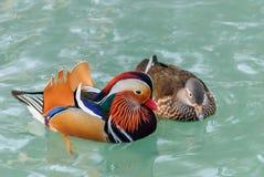 Mandarin ducks royalty free stock images
