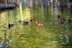 Mandarin ducks Stock Images