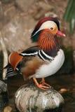 Mandarin eend Stock Afbeelding