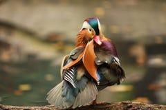 Mandarin Eend stock fotografie