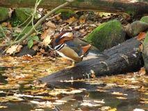 Mandarin eend in de herfst Stock Fotografie