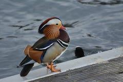 Mandarin eend die op de rand van het kanaal rusten stock fotografie