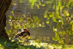 Mandarin eend door het water stock fotografie
