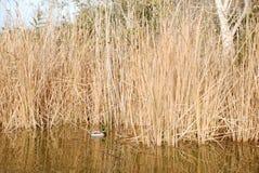 Mandarin eend in het meer Royalty-vrije Stock Fotografie