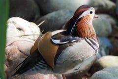 Mandarin eend op de stenen stock foto's