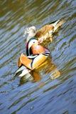 Mandarin eenden Royalty-vrije Stock Fotografie