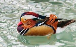 Mandarin eenden Royalty-vrije Stock Afbeelding