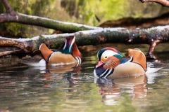 Mandarin eenden op water stock foto