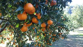 Mandarin Farm in Laughtondale, NSW Stock Photos