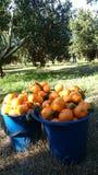 Mandarin Farm in Laughtondale, NSW Stock Images