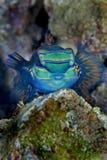 Mandarin fish Stock Images
