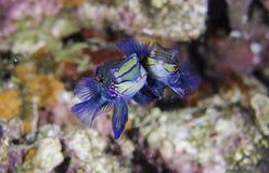 Mandarin Fish. Salt water colorful tropical fish Royalty Free Stock Image