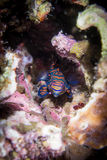 Mandarin Fish. Salt water colorful tropical fish Stock Photos