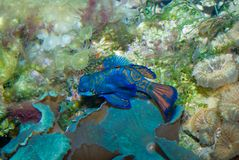 Mandarin Fish. With Sea anemones and coral in background Stock Photos