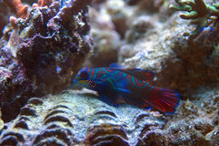 Mandarin fish. From Red Sea, bright-coloured coral reef fish, can live in the marine aquariums Stock Image