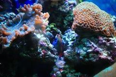 Mandarin Fish Stock Photography