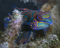 Mandarin fish in coral reef Stock Photo