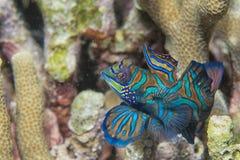 Mandarin fish Royalty Free Stock Image