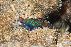 Mandarin fish at dusk. Mandarin fish, Lembeh Straits, Sulawesi,Indonesia,South-east asia Royalty Free Stock Image
