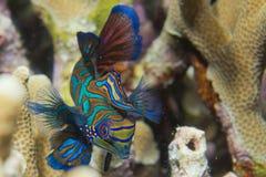 Mandarin fish on hard coral background Royalty Free Stock Photos
