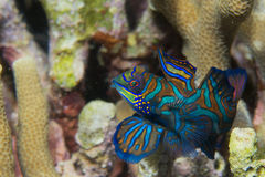 Mandarin fish on hard coral background Stock Photo