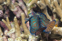 Mandarin fish on hard coral background royalty free stock photos