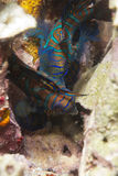 Mandarin fish on hard coral background Stock Image