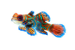 Mandarin fish isolated on white background royalty free stock photo