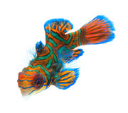 Mandarin fish isolated on white background Stock Photography