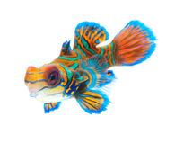 Mandarin fish isolated on white background Royalty Free Stock Photography