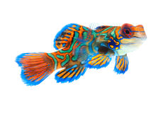 Mandarin fish isolated on white background Stock Images