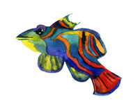 Mandarin fish. Isolation on the white. watercolor Royalty Free Stock Image