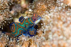 Mandarin fish macro shot. Mandarin fish, Lembeh Straits, Sulawesi,Indonesia,South-east asia Royalty Free Stock Photo