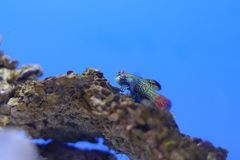 Mandarin fish. The mandarinfish or mandarin dragonet (Synchiropus splendidus), is a small, brightly colored member of the dragonet family, which is popular in Royalty Free Stock Image