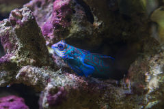 Mandarin fish in marine aquarium royalty free stock photography
