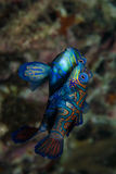 Mandarin fish mating Royalty Free Stock Images