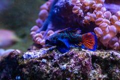 Mandarin Fish the Most Beautiful, Colorful and Amazing Fish royalty free stock image